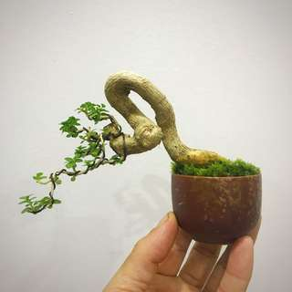 Mini Premna Bonsai - Dancing Series