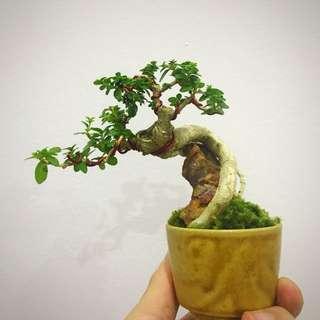 Mini Premna Bonsai - Dancing Series
