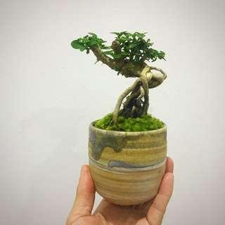 Mini Premna Bonsai in Kiln Fire Ceramic Pot