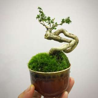 Mini Bonsai - Dancing Series