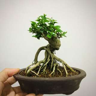 Mini Premna Bonsai