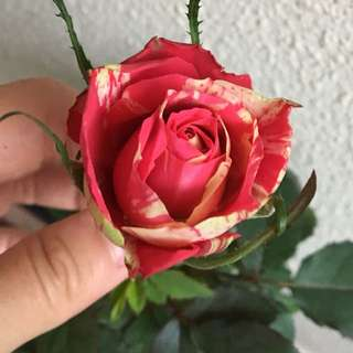airlayered roses