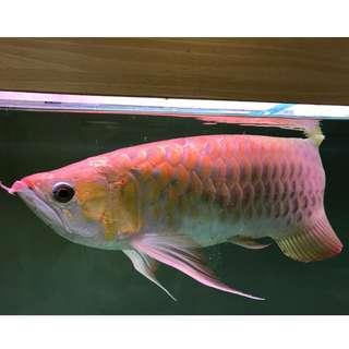 紅龍 帝王魚 非常美 有認證 觀賞
