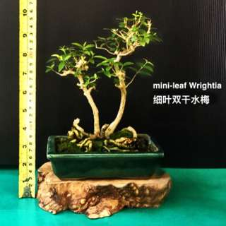 CNY Bonsai- Wrightia 水梅 (Water Jasmin) 3 & 4