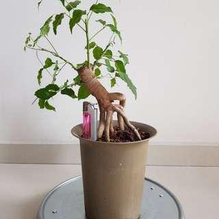 绿宝 exposed root bonsai