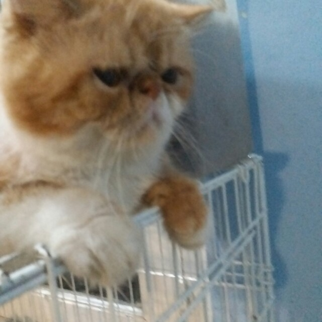 Kucing jantan exo extreem