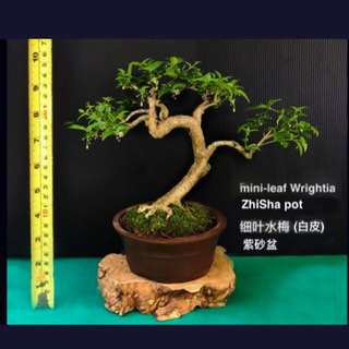 CNY Bonsai - 水梅 Wrightia (Water Jasmin) 1 & 2