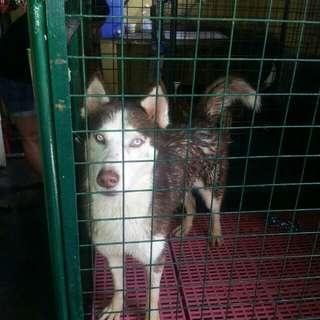 URGENT!!!!! FOR SALE Siberian Husky(sacrifice sale)