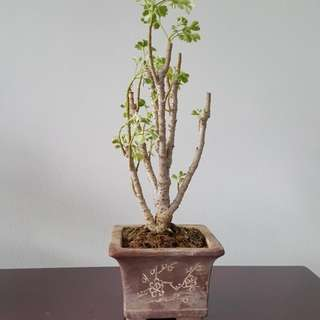 Mini Plant in Bonsai Pot
