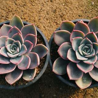 😍RARE SUCCULENTS: Z058 - ECHEVERIA AGAVOIDES TINKERBELL (FIRST COME FIRST SERVE! VERY LIMITED STOCKS!)😱