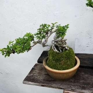 Bonsai (水梅)