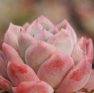 😍RARE SUCCULENTS: T007 - Echeveria Rasberry Ice Japan (FIRST COME FIRST SERVE! VERY LIMITED STOCKS!)😱