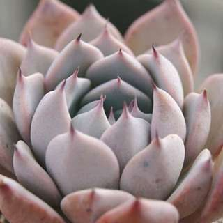 😍RARE SUCCULENTS: T009 - Echeveria Larega (FIRST COME FIRST SERVE! VERY LIMITED STOCKS!)😱