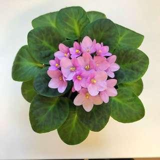 Pink Species African Violets