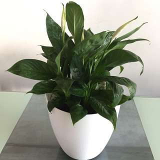 Peace Lily in Big Self Watering Pot