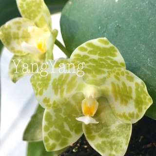 Phalaenopsis gigantea var alba 'Ta Wei' (Rare alba form of the biggest Phalaenopsis species)