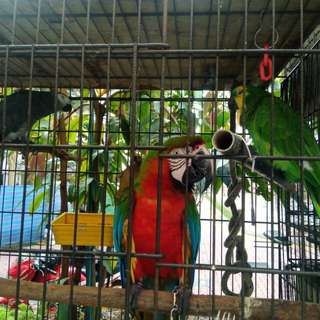 Breeds of Parrot's