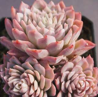 ------SOLD OUT------ 😍RARE SUCCULENTS: T011 - Echeveria Violet Queen (FIRST COME FIRST SERVE! VERY LIMITED STOCKS!)😱