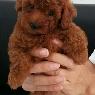 Anak anjing red toy poodle