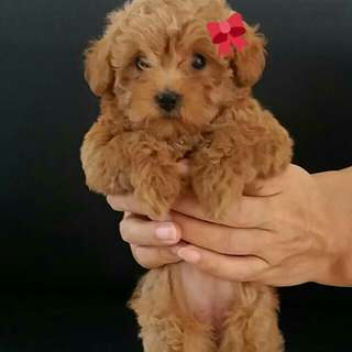 Anak anjing toy poodle