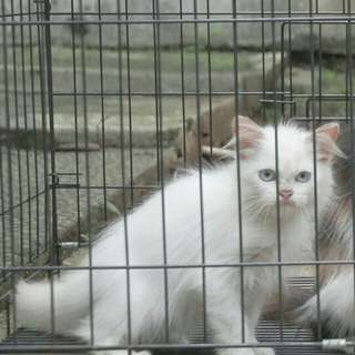 Anak kucing persia medium putih blue eyes