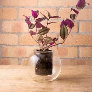 Glass self-watering pot (w/ Wandering Jew plant)