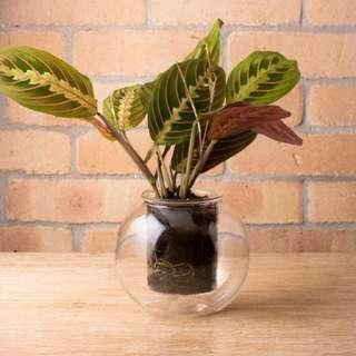 Glass self-watering pot (w/ Maranta Tricolor plant)