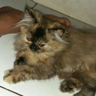 Kucing persia persilangan anggora