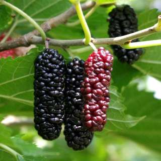 Fruiting Mulberry