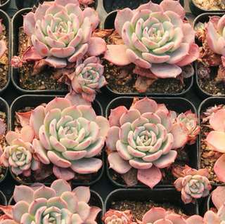 ------SOLD OUT------ 😍RARE SUCCULENTS: V013 - Echeveria Laulensis (FIRST COME FIRST SERVE! VERY LIMITED STOCKS!)😱