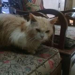 kucing persia adult