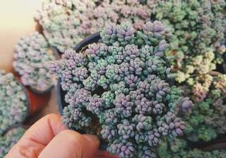😍RARE SUCCULENTS: X094 - Pachyphytum Oviferum (FIRST COME FIRST SERVE! VERY LIMITED STOCKS!)😱