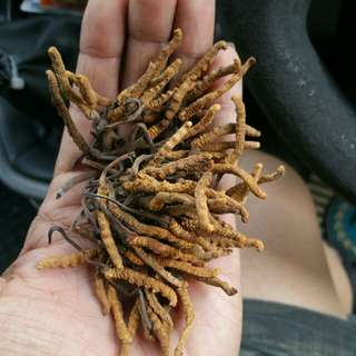 Cordyceps for men enhancement