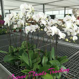 Phalaenopsis Flowering