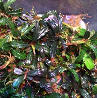 Bucephalandra brownie phantom