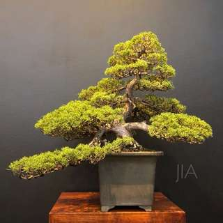 Reserved Large Japanese SHIMPAKU bonsai