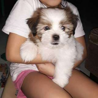 Shih Tzu (Male) pure