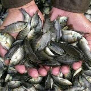 Bibit ikan solok padang belimbing