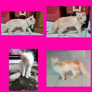 Adop kucing anabul silang calico