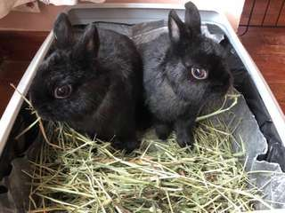 Rabbit Hay from US timothy hay
