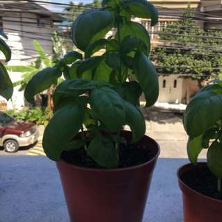 3 Fresh Basil Plants