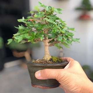 Reserved Japanese Maple Bonsai