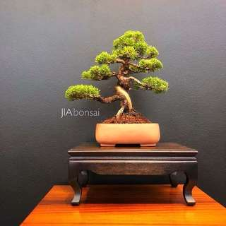 Reserved Japanese Shimpaku Bonsai 35cm