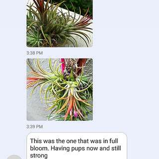 SHARING/GARDENING - Myths About Airplants Die After Blooming Part 1