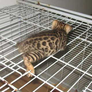 Bengal kittens - SPOTTED ROSETTED