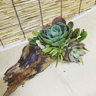 Succulents arrangement on driftwood