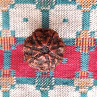 7 face Rudraksha NEPAL (Genuine and Authentic)