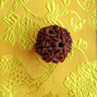 7 face Rudraksha NEPAL (Genuine and Authentic)
