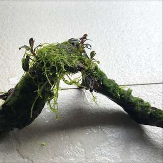 Drift wood with moss and bucephalandra
