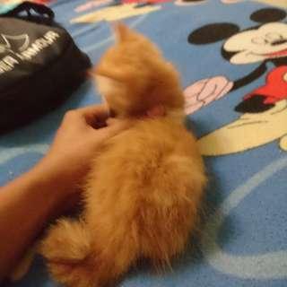 Anak kucing persian